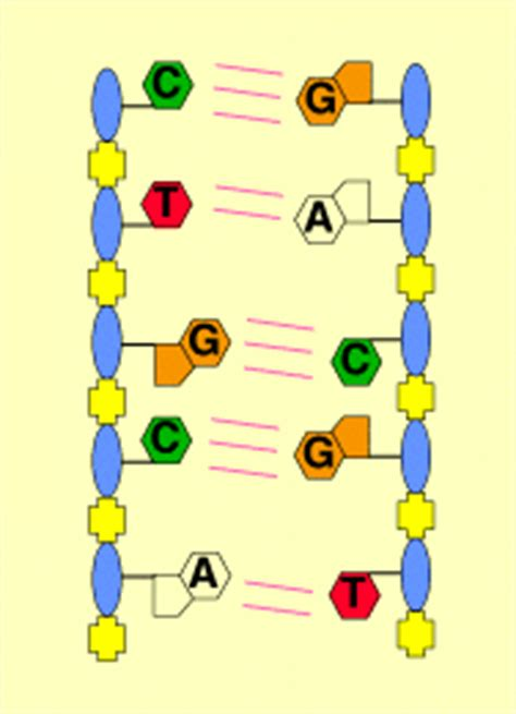 cadena de adn bases nitrogenadas adn