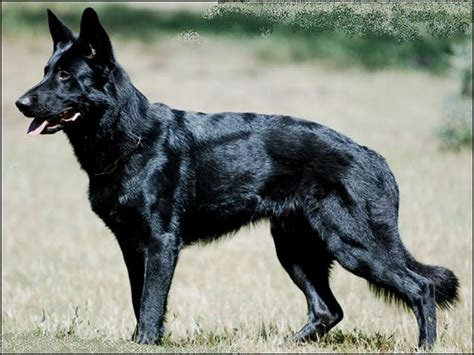 black german shepherd file black german shepherd jpg