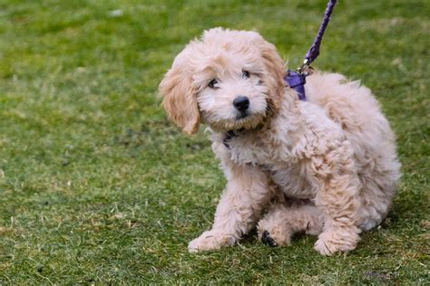 goldendoodle puppy tricks ruffined spotlight the goldendoodle puppy seattle