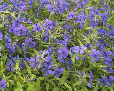 la blue product viewer phlox louisiana blue