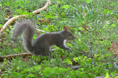 squirrel buries nut in going squirrely rural ramblings