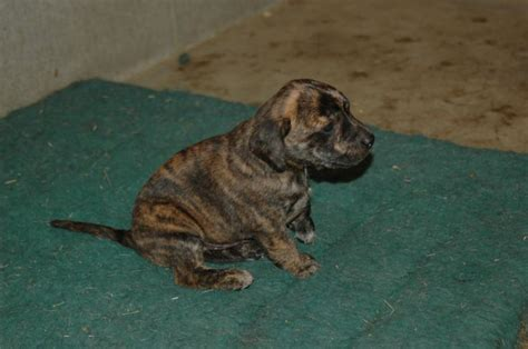 treeing tennessee brindle puppy dogs treeing tennessee brindle breeds picture