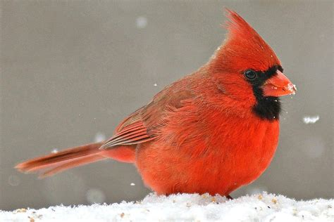 fun facts and trivia about northern cardinals