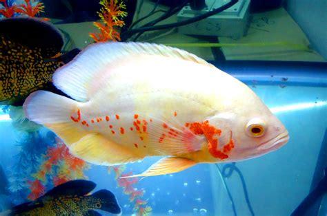 learn to aquaponic aquaponics how many fish per gallon