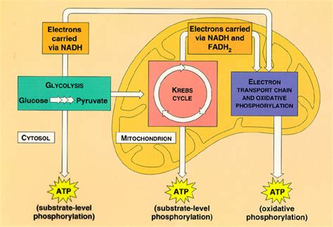 aerobic cellular respiration diagram biological processes and systems