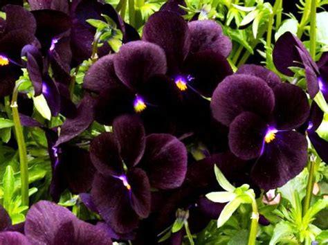 wallpaper anggrek hitam 15 gambar bunga anggrek hitam paling langka
