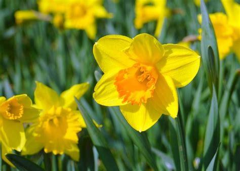 daffodils   plant grow  care  daffodil