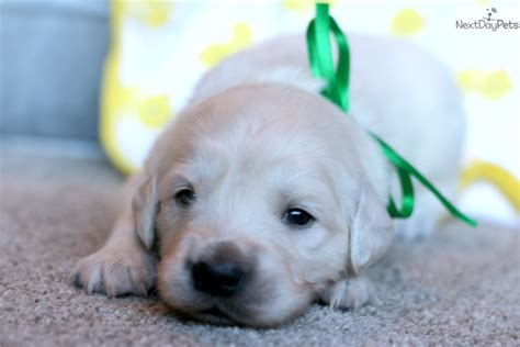 golden retriever puppies indianapolis for sale mr green golden retriever puppy for sale near indianapolis indiana