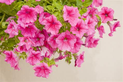 fiori petunie tutto quello devi sapere su come coltivare le petunie fito