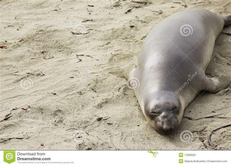 Baby Sea Elephant   www.imgkid.com - The Image Kid Has It!