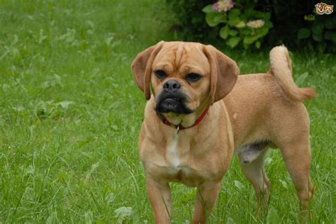 pictures of puggle puppies puggle breed information buying advice photos and facts pets4homes