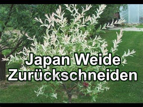 harlekinweide wann schneiden japan weide zur 252 ckschneiden harlekin weide