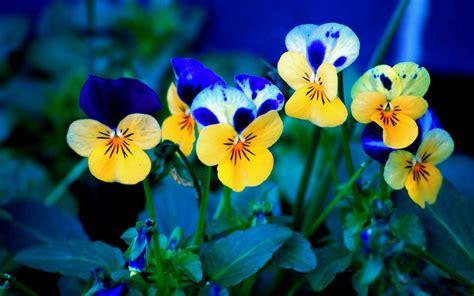 sfondi per desktop fiori sfondi fiori per desktop viole pensiero sfondi hd