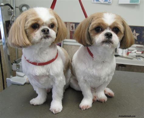 facts about shih tzu shih tzu pictures puppies information temperament characteristics rescue