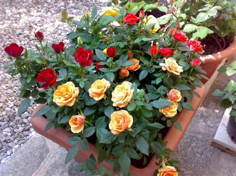 roselline in vaso in vaso garden4us