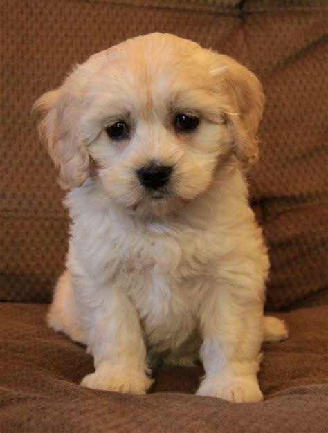 havanese ontario cocker spaniel x havanese puppies for sale puppies for sale dogs for sale in