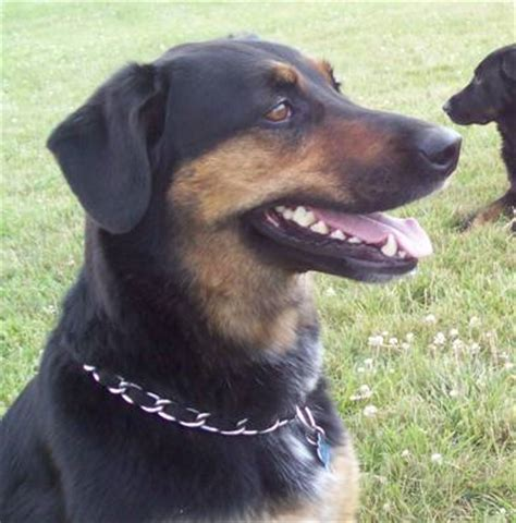 rottweiler shepherd mix lost rottweiler shepherd michigan humane society