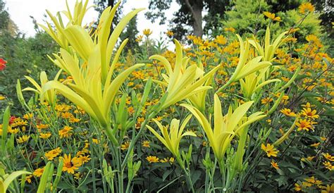 dividing perennials why when and how to divide perennials