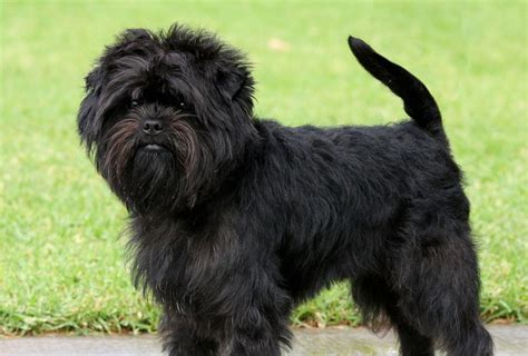 dogs that start with a breeds that start with a find list with pictures pets world
