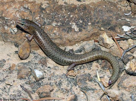 australian backyard lizards northern bar lipped skink eremiascincus isolepis