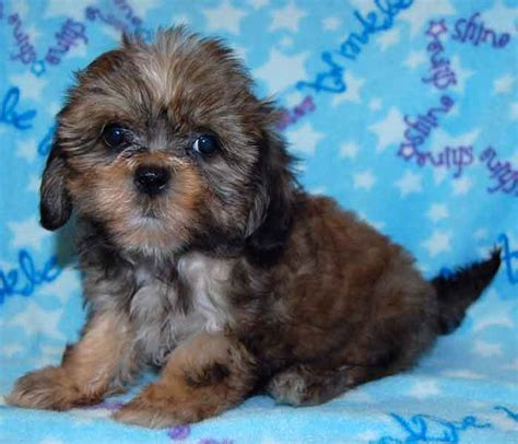shapoo puppies wiki shih poo grooming styles hairstylegalleries com