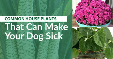 common house plants toxic to dogs common house plants that are toxic to dogs garden