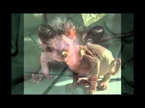 imagenes de animales feos y chistosos gatos m 225 s feos del mundo 2013 youtube