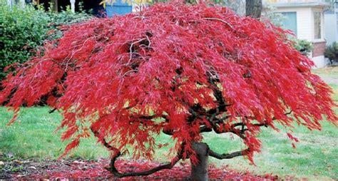 acero in vaso acero giapponese arbusto elegante da coltivare in vaso