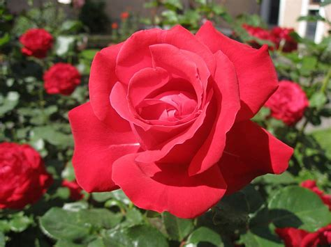Bunga Taman Merah Mawar