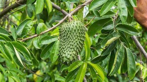 manfaat daun sirsak berguna bagi kesehatan luar biasa