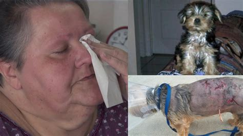 pitbull yorkie mix pit bull mix attacks yorkie knocks owner from wheelchair story fox 13 ta bay