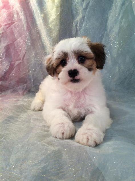 teddy shih tzu for sale shih tzu bichon puppies for sale shih tzu bichon breeder in iowa