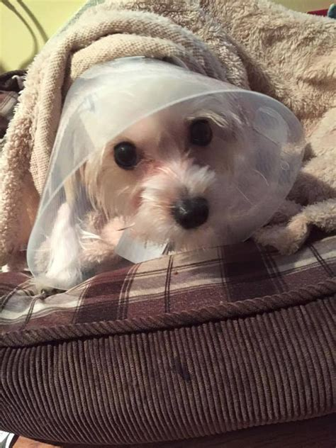 yorkie baby teeth 205 best images about featured morkie of the day on is 1 yorkie and mike