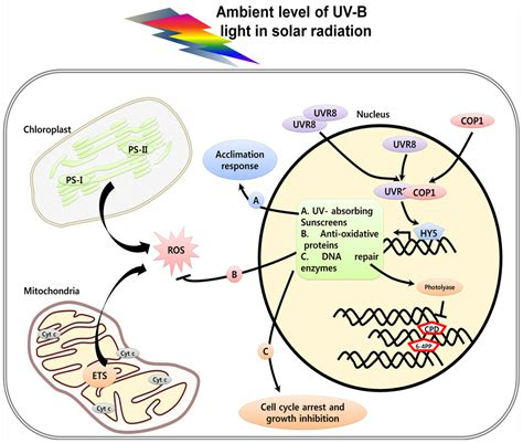 Oxygene Actif 1642 by Ijms Free Text Uv Induced Cell In Plants