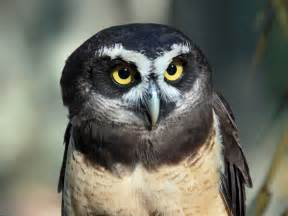 pictures of owls for file spectacled owl rwd1 jpg
