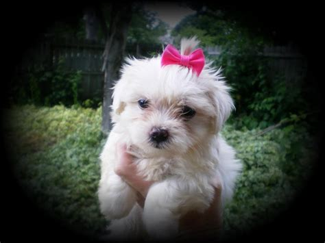 are maltese shih tzu hypoallergenic cherie s ads from perris california riverside cherie s adpost