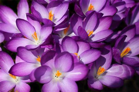 imagenes flores moradas related keywords suggestions for imagenes de flores moradas
