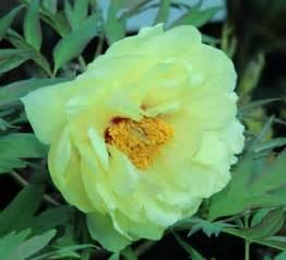 Japanese Flowering Shrubs - high noon yellow hybrid tree peony paeonia suffruticosa kelways