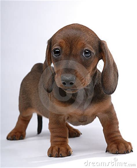 dachshund puppies for sale in birmingham al mini dachshund puppies for sale in alabama akc smooth coat breeds picture