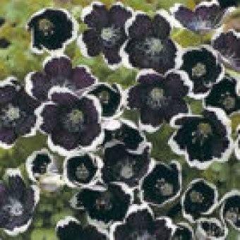 Harga Benih Jagung Manis Per Kg bibit bunga nemophilia black