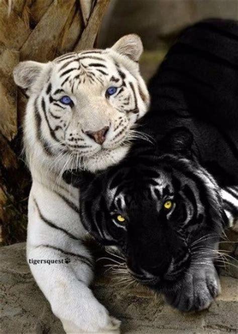 imagenes tigre blanco bengala imagenes de tigres de bengala blanco bebe y grandes