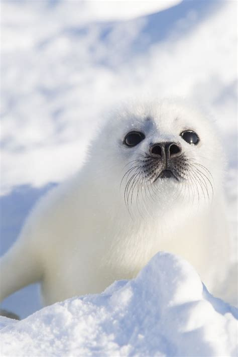 Seal Pop Seal Jus 1000 images about animal on fox arctic fox and squirrel