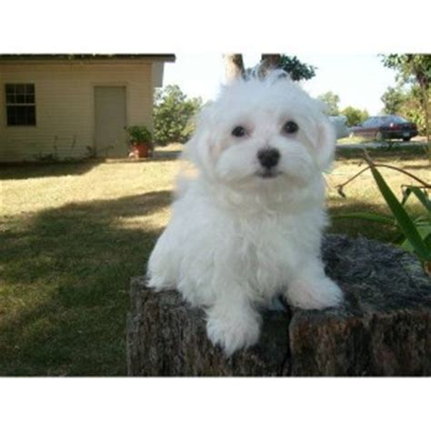 free puppies greenville sc dogs greenville sc free classified ads