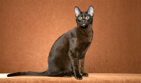 Brown Cat 2 brown cat breed information