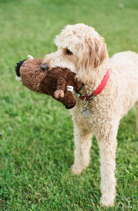 goldendoodle haircut styles toys summer and this on
