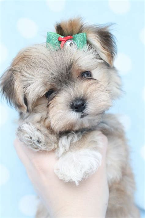 what is a morkie puppy adorable morkie puppy at teacups puppies and boutique lovely animals