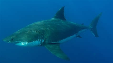 Kompresor Shark 3 4 why great white sharks avoid males for months on end channel 4 news