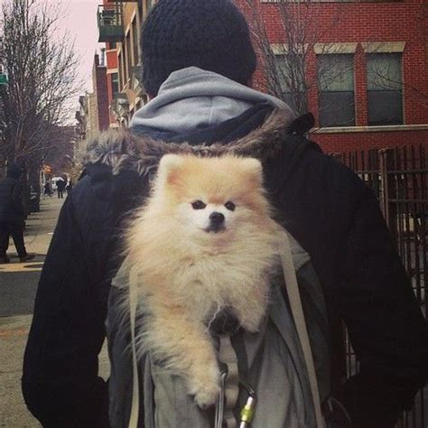 pomeranian book 25 best ideas about taco in a bag on walking tacos cing 101 and a bag