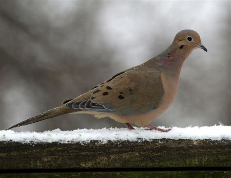 all about birds mourning dove