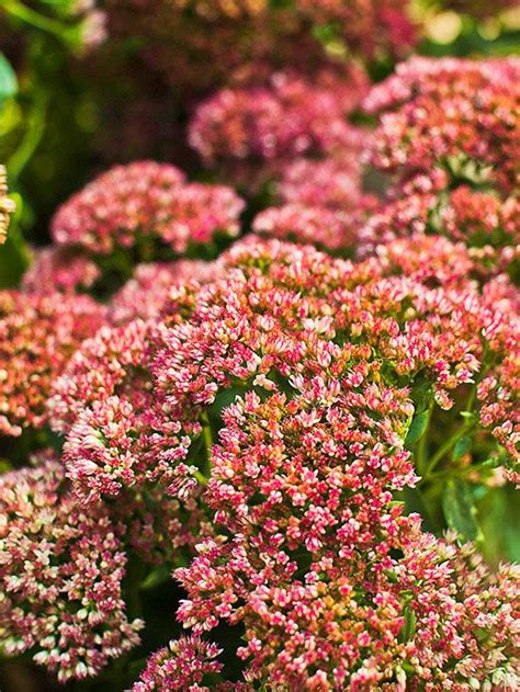 fall blooming perennials 17 best images about sedum on pinterest gardens early